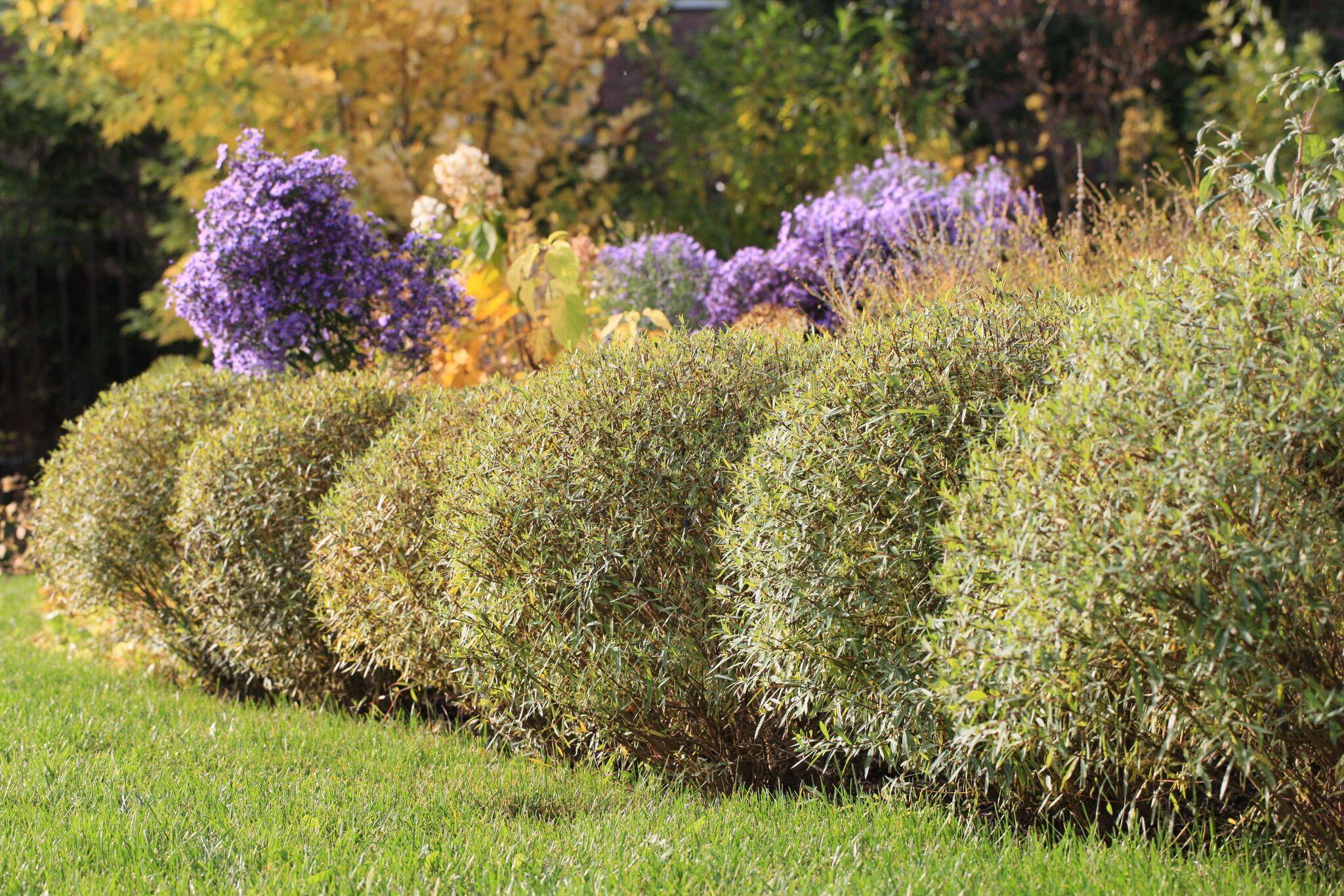 Ива пурпурная в ландшафтном дизайне